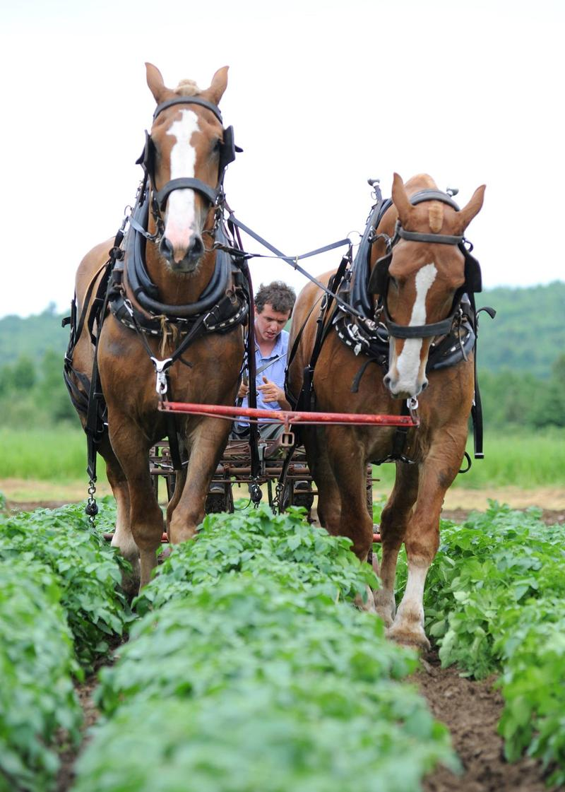 A member of the Gregg family uses a team of horses to harvest the crops