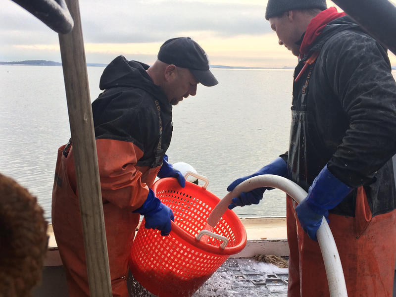 Alex Todd (left) and Levi Gloden wash freshly harvested scallops aboard the Jacob and Joshua.