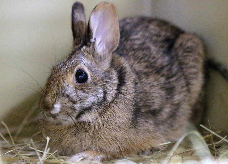A New England cottontail rabbit sits in a cage in Providence, R.I., in June of 2016.