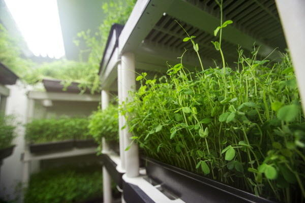 Pea shoots thrive despite the winter weather in a temperature controlled unit on Bahner Farm in Belmont.