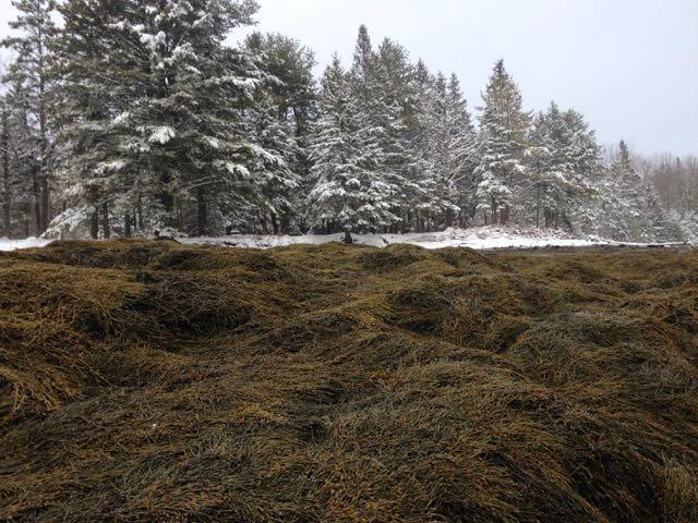 Rockweed coats the shoreline on the Maine coast.