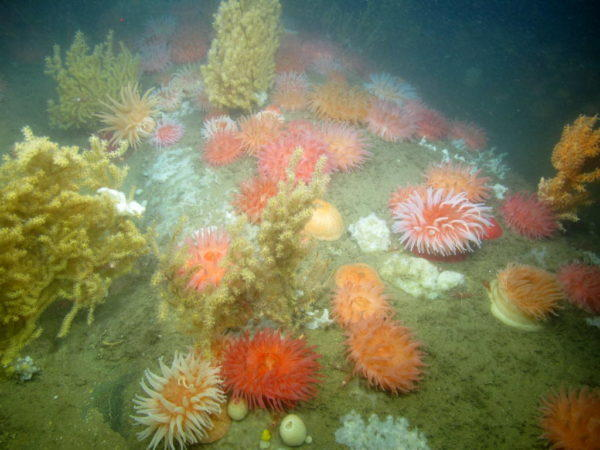 Corals and anemones in west Jordan Basin.