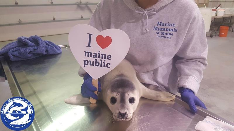 Thanks for having us on the show yesterday Here's a photo of our latest rescue, a harbor seal pup from Harpswell, loving Maine Public. Thanks again!