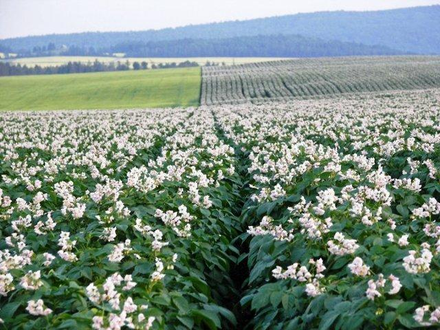 Potato fields in bloom in Aroostook County.