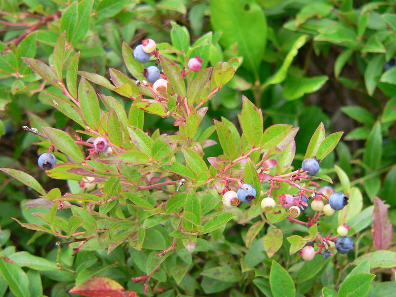 A clump of wild blueberries growing in Maine.