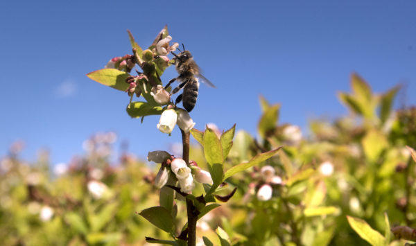 A bee on a blueberry plant in a Deblois filed Thursday.