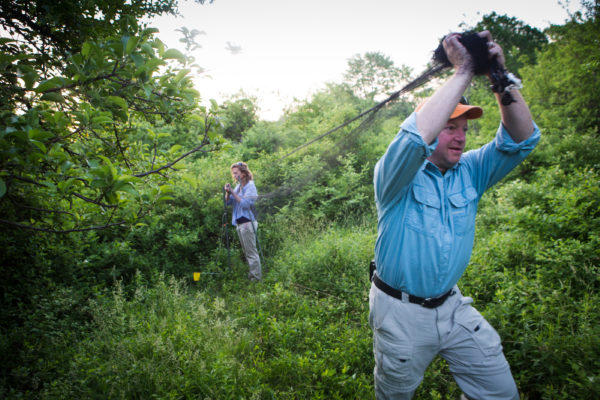 Maine Medical Center Research Institute vector ecologist Chuck Lubelczyk and Rachel Carson Wildlife Refuge intern Katie Fernald set up a net to capture birds at the Wells Reserve last month.