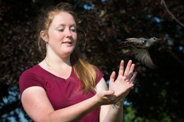 Genlyne Fiske-White, an intern at the Biodiversity Research Institute, releases a catbird at the Wells Reserve last month after capturing it and checking it for ticks.