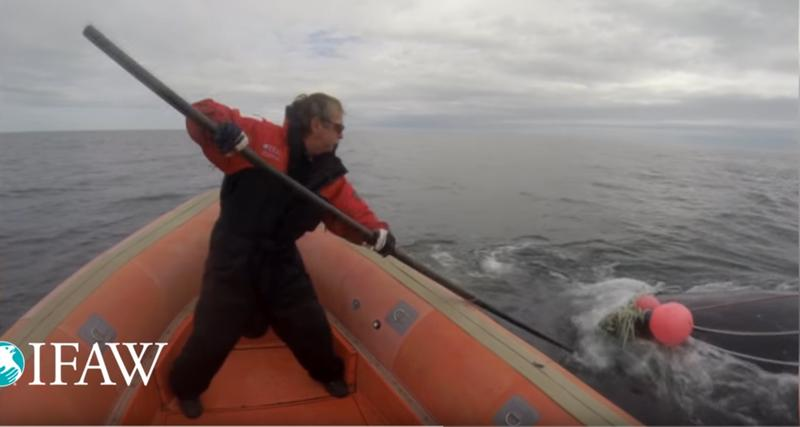 A video still showing Joe Howlett in August of 2016 as he rescued an endangered right whale caught up in a mass of fishing gear.