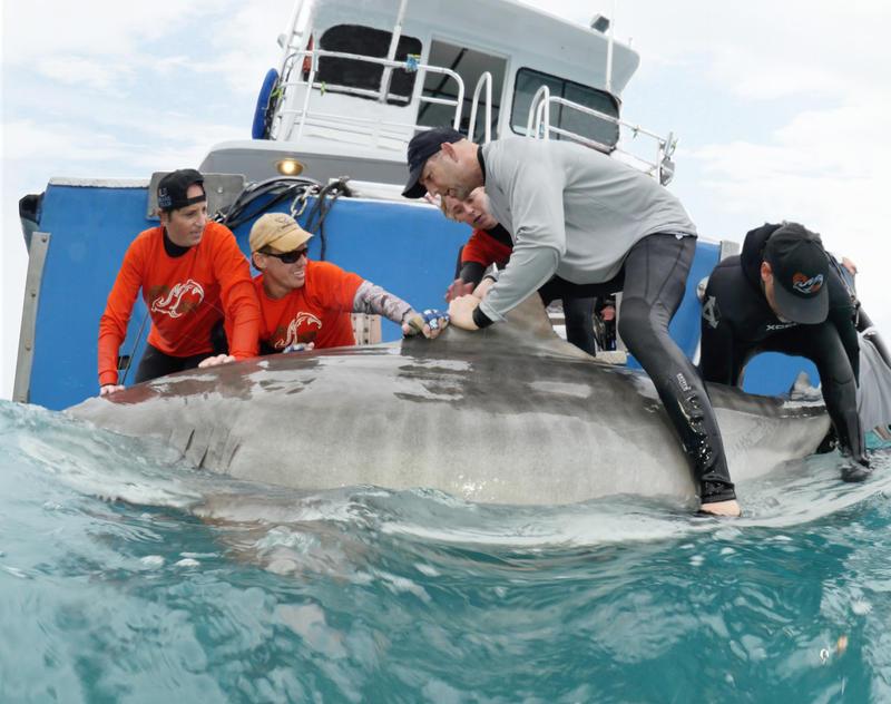 University of New England researcher James Sulikowski examines a tiger shark.