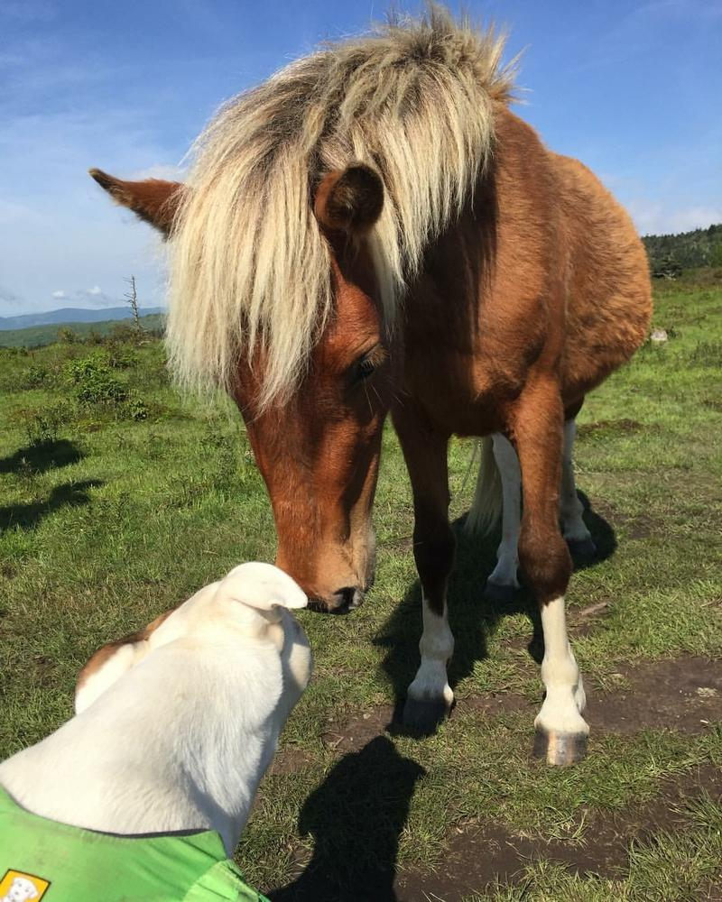 Daisy meets the ponies in the Grayson highlands.