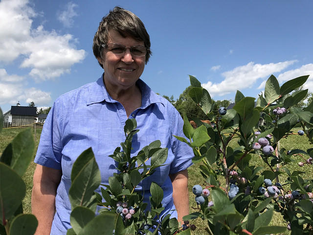 Patty Treworgy inspects some of her high bush blueberries at Treworgy Family Orchards