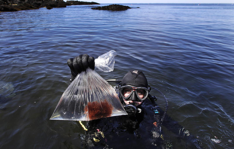 In this June 15, 2017, photo, research technician Kristen Mello shows a sample of a red shrub-like seaweed collected in the waters off Appledore Island, Maine.