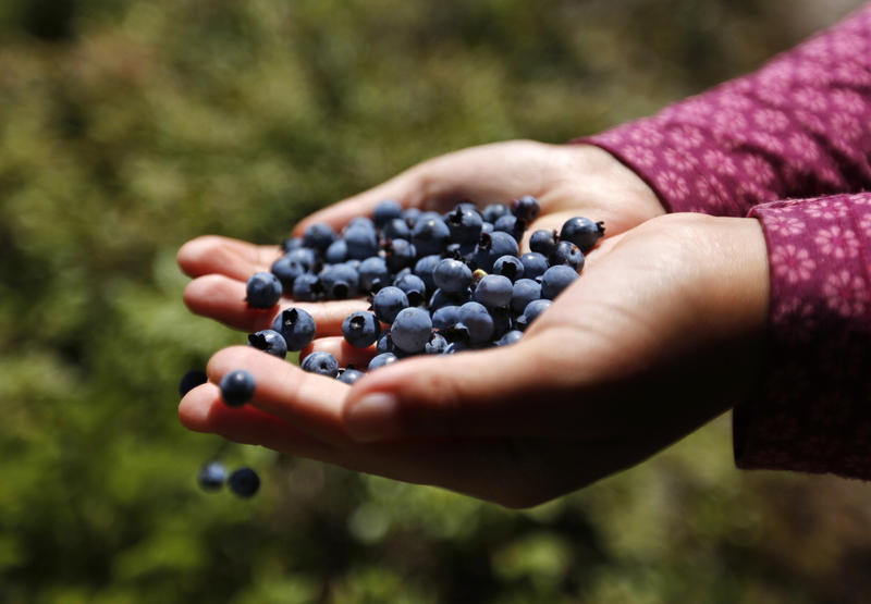 In this Aug. 7, 2017 photo a girl holds a handful of wild blueberries picked near Sherman, Maine.