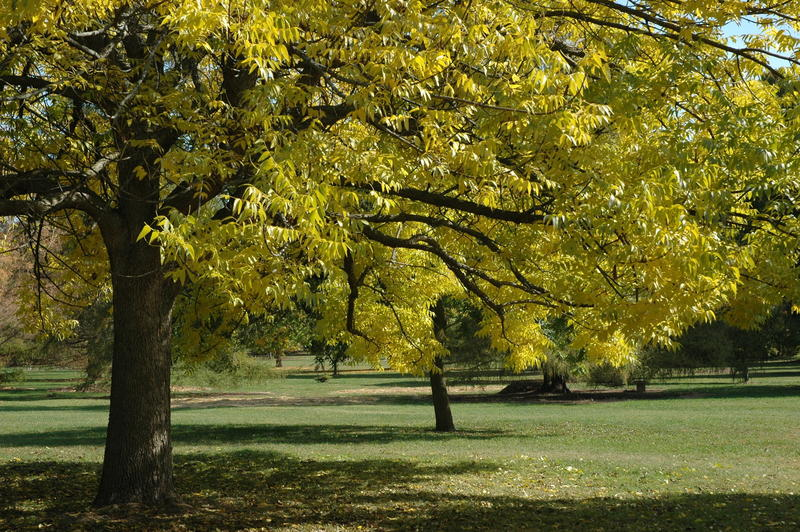 This undated photo provided by the Morton Arboretum in September 2012 shows blue ash trees (Fraxinus quadrangulata).