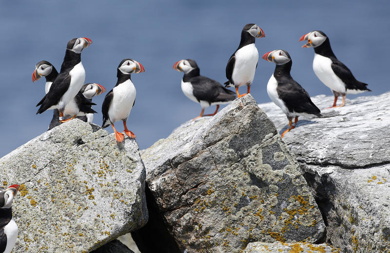 Atlantic puffins congregate near their burrows on Eastern Egg Rock, a small island off the coast of Maine, in Aug. 2014.