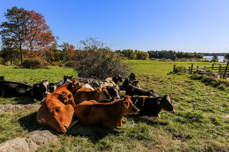 Cows at Wolfe's Neck Center for Agriculture on Thursday.