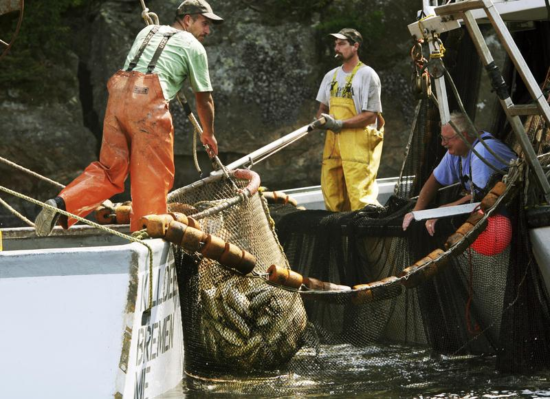 Fishermen hoist a net full of pogies, also known as menhaden, into their boat along a cove in West Bath, Maine, on Thursday, Aug. 14, 2008. They use the fish as bait for lobstering and said they caught about 30,000 pounds.
