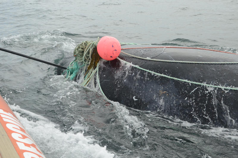 A juvenile male right whale tangled in fishing gear was rescued August 13, 2016 off Campobello Island.