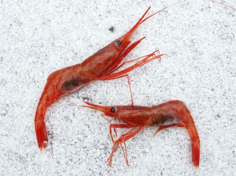 Northern shrimp lay on snow aboard a trawler in the Gulf of Maine in Jan. 2012.