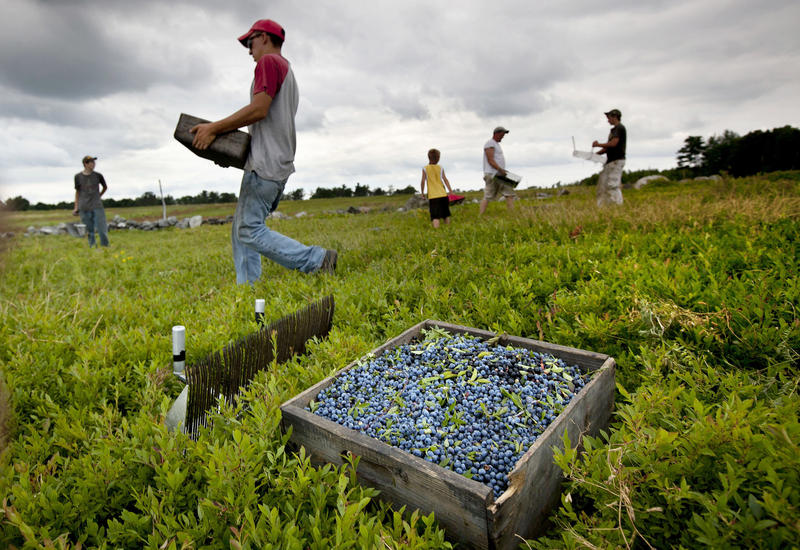 In this Friday, July 27, 2012, file photo, workers harvest wild blueberries at the Ridgeberry Farm in Appleton, Maine.