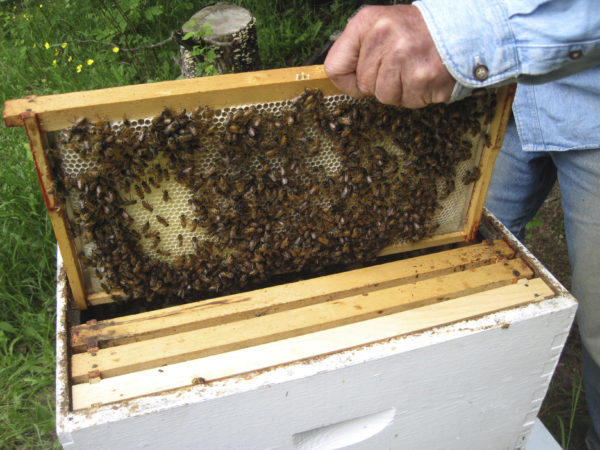 It was a rough year for Maine bees with drought conditions impacting their supplies of natural nectar and pollen.