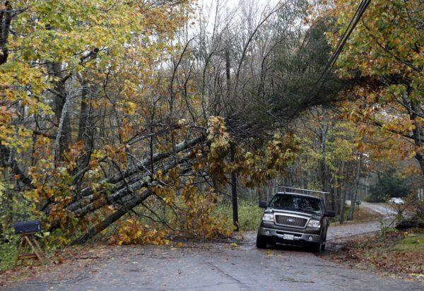 A motorist drives under downed pine trees that are resting on power lines in Freeport, Oct. 30, 2017. A strong wind storm has caused widespread power outages.