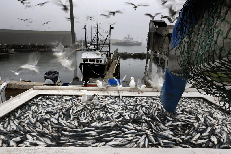 In this Wednesday, July 8, 2015 photo, herring are unloaded from a fishing boat in Rockland, Maine.