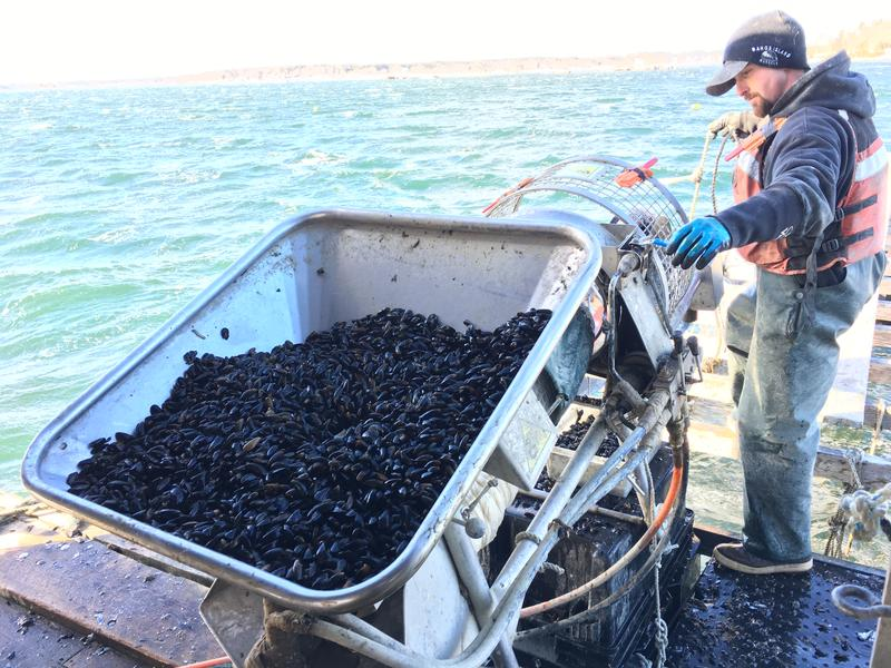 Bangs Island Mussels worker Jon Gorman sets juvenile mussells onto rope that will be their home for the next year as they grow to market size.