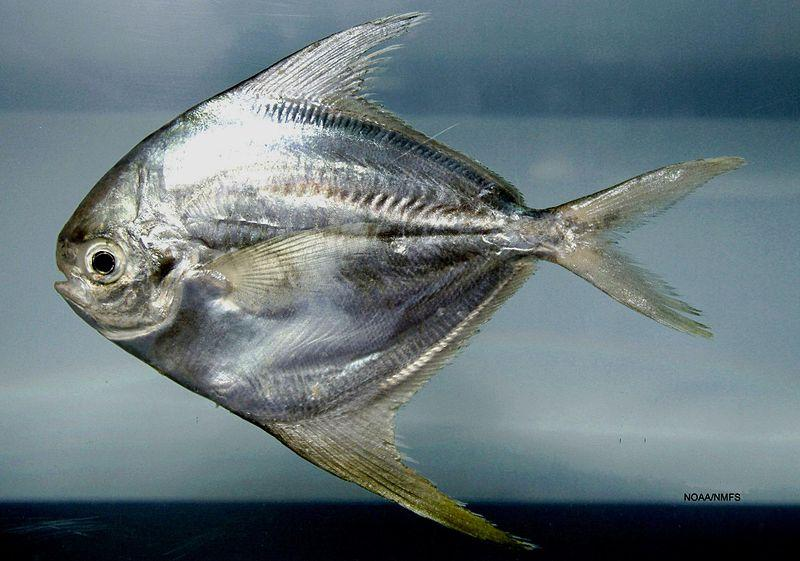A butterfish in the Gulf of Mexico.