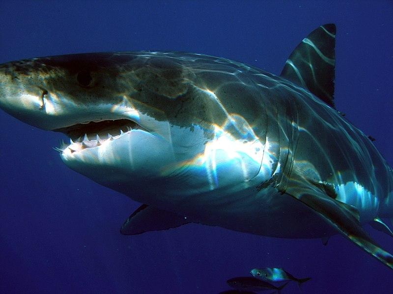 Great white shark off Isla Guadalupe, Mexico, seen May 31, 2007.