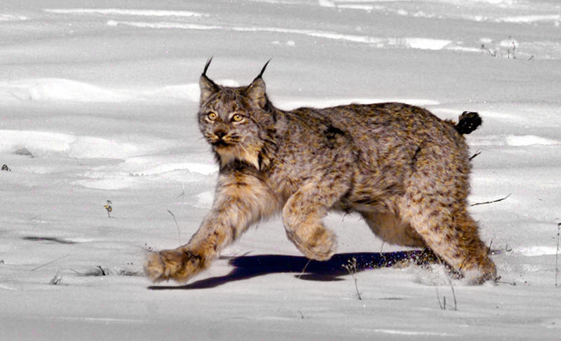 A female Canada lynx heads for the woods after being released near South Fork, Colorado, in 1999.