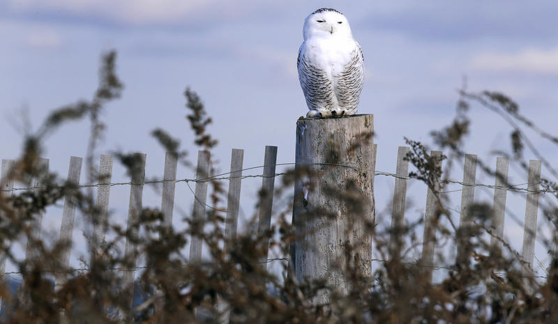 In this Thursday, Dec. 14, 2017 photo, a snowy owl captured at Boston's Logan Airport, sits atop a fence post after being released along the shore of Duxbury Beach in Duxbury, Mass.
