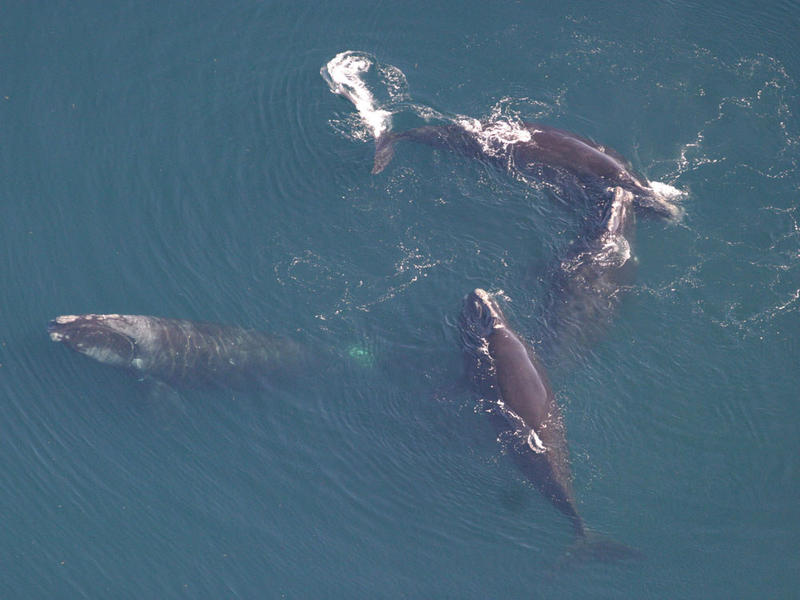 Four North Atlantic right whales, seen in April of 2008.