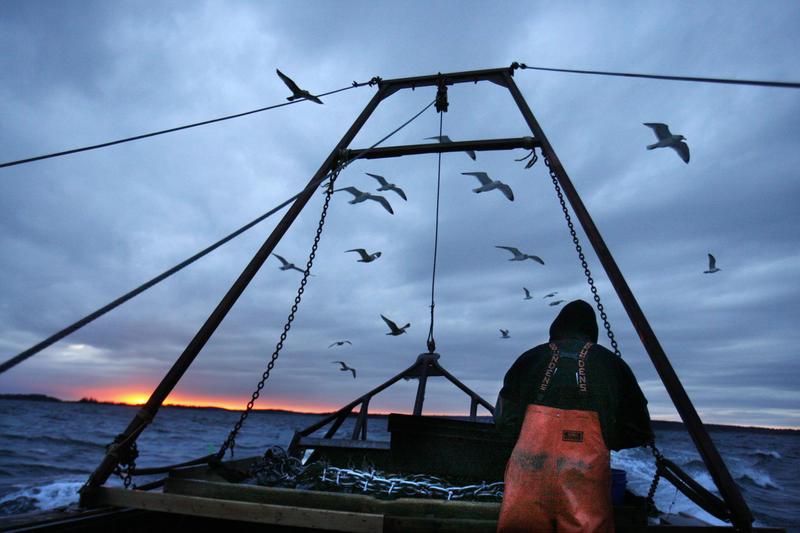 In this photo made Saturday, Dec. 17, 2011, gulls seeking scraps follow a fishing boat where sternman Josh Gatto shucks scallops on the trip back to shore off Harpswell, Maine.