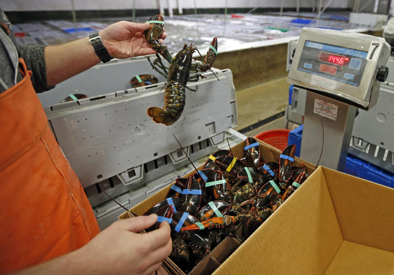 Live lobsters are packed and weighed for overseas shipment at the Maine Lobster Outlet in York in Dec. 2015.