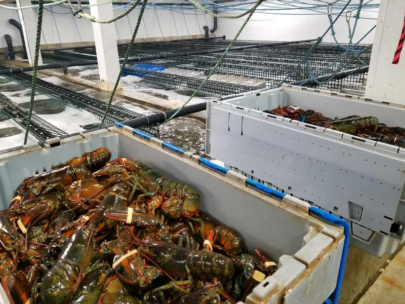 Live lobsters at Maine Coast Lobster in York