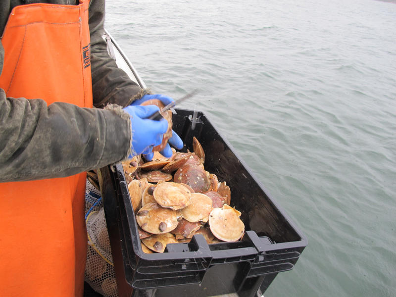 A Maine fishermen with a basket of scallops in December of 2012.