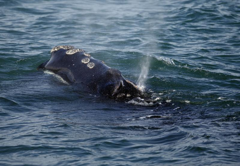 In this Wednesday March 28, 2018 photo, a North Atlantic right whale feeds on the surface of Cape Cod bay off the coast of Plymouth, Mass.