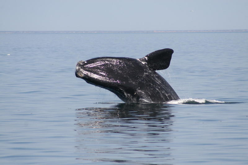 North Atlantic right whale breaching in Cape Cod Bay, May 2009.