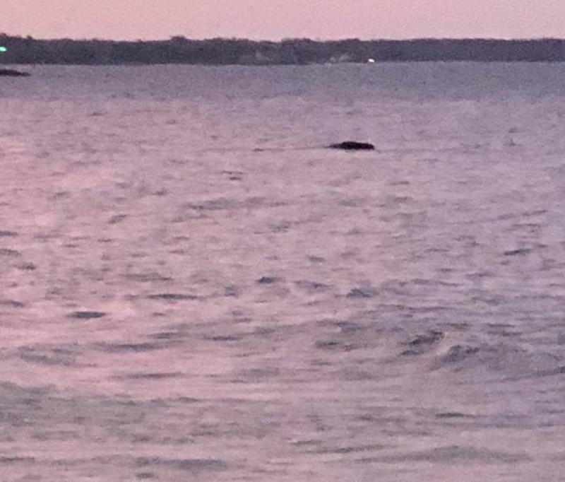 A right whale is visible from the beach in Wells on Monday.