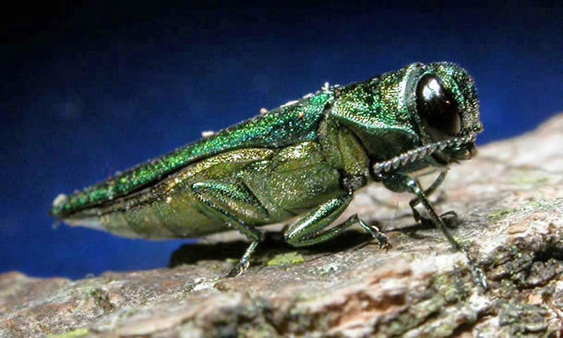 In this undated file photo provided by the Minnesota Department of Natural Resources, an adult emerald ash borer is shown.