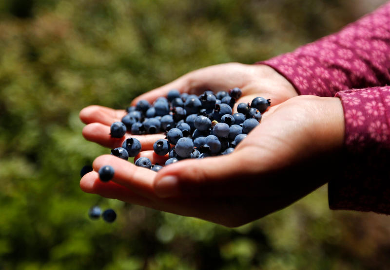 In this Aug. 7, 2017 file photo, a girl holds a handful of wild blueberries picked near Sherman, Maine.