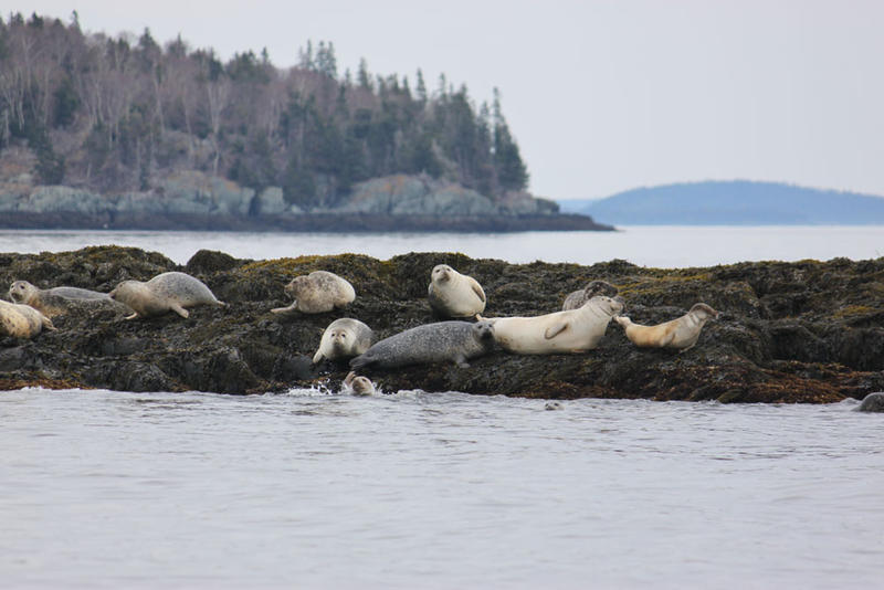 Harbor seals in Maine.