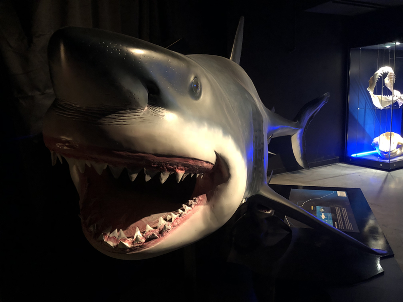 A shark exhibited at the Portland Science Center, Feb. 6, 2018.