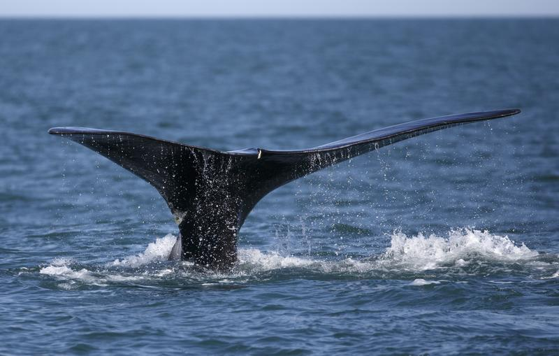 In this March 28, 2018, file photo, a North Atlantic right whale appears at the surface of Cape Cod bay off the coast of Plymouth, Mass.