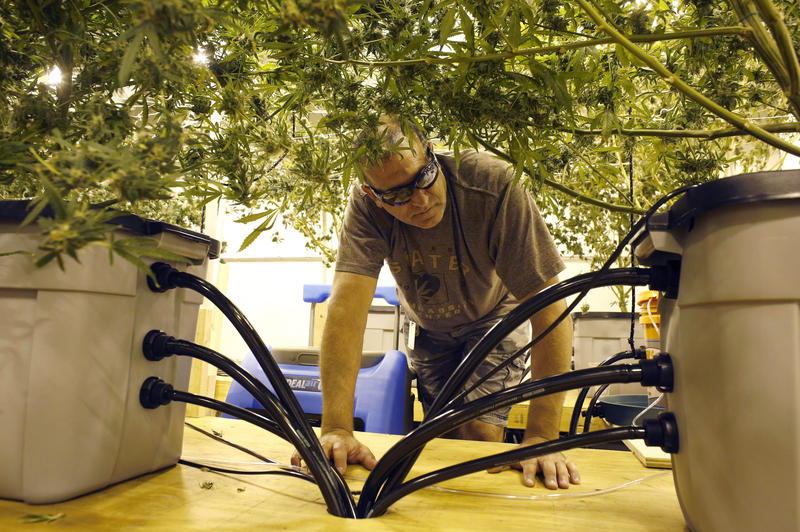 n this Wednesday, July 29, 2015 photo Kenney LaFauci, of Providence, R.I., head of cultivation at the Thomas C. Slater Compassion Center, inspects marijuana plants in a growing room at the center, in Providence, R.I.
