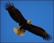 An adult bald eagle.