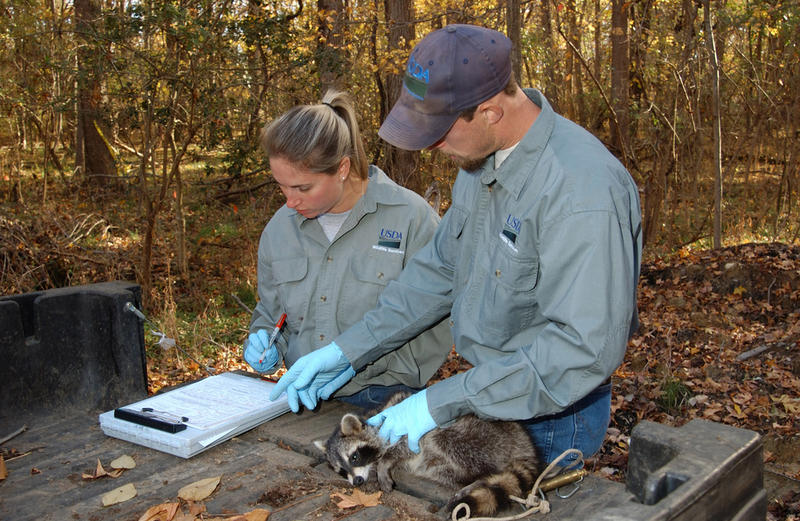 Wildlife Services rabies biologists take a tissue sample from an anesthetized raccoon in 2010. The test will determine whether or not this animal ingested enough rabies vaccine to be protected.