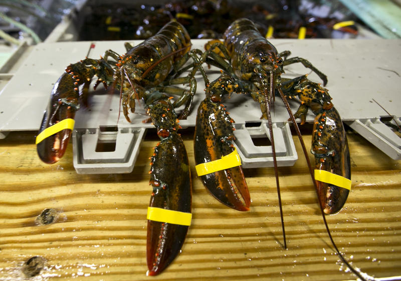 The latest tariffs bring the total tariff on frozen lobster harvested in the U.S. to 35 percent, and to 40 percent on live lobster.